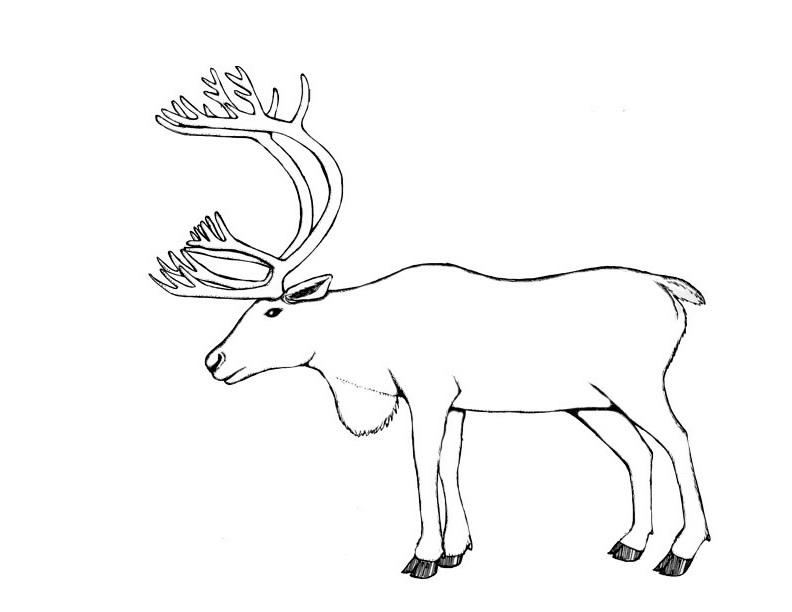 Caribou Animals Printable Coloring Pages
