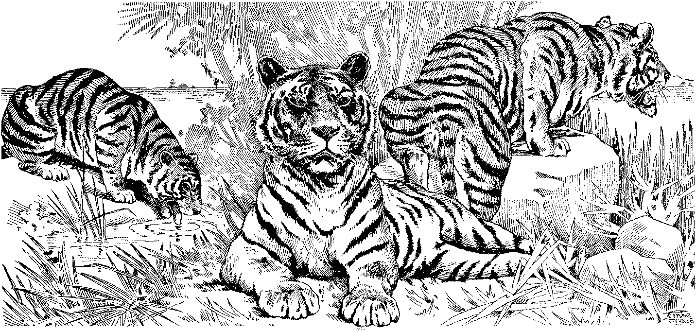 Tiger 13691 Animals Printable Coloring Pages